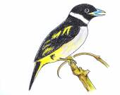 黑色和黄色魣鳕鸟绘图 — 图库照片