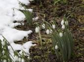 Spring flowers snowdrops (Galanthus) in a forest in spring  — Stock Photo