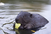 The beaver chews a piece of apple — Stok fotoğraf