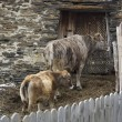 Cow and calf near the old barn — Stockfoto #81053324