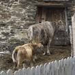 Vache et veau à proximité de la vieille grange — Photo #81053324
