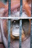 Gesicht der gorilla — Stockfoto