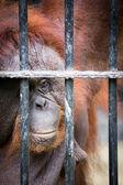Face of gorilla — Stock Photo