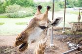 Giraffe gezicht close-up — Stockfoto