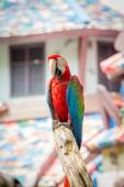 Scarlet macaws on the tree — Stock Photo