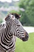 Zebra — Fotografia Stock