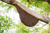 A swarm of honey bees clinging to a tree — Stock Photo