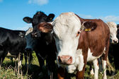フレンドリーな牛 — ストック写真