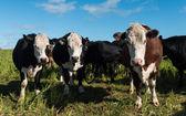 White Head Cows — ストック写真