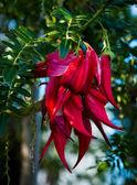 Clianthus Puniceus Flower — Stock Photo