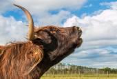 Cow Call — Stock Photo