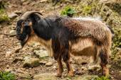 Arapawa Goat — Stock Photo