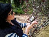 Phytologist tittar på Cistena plommon blommande buske — Stockfoto