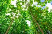 Teak wood forests — Stock Photo