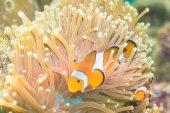 Anemone and anemone fish — Stock Photo
