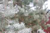 Snow-covered fir tree branches — Stock Photo
