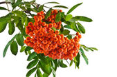 The rowan twig with ripe red berries on a white background — Stock Photo