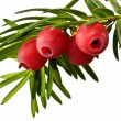 The green yew twig with red yew berries on a white background — Stock Photo #55891821
