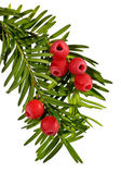 The green yew twig with red yew berries on a white background — Zdjęcie stockowe