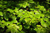 Thicket spring beech twigs and leaves — Stock Photo