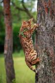A single bengal cat in natural surroundings — Stock Photo