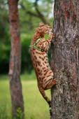Jeden kot bengalski w naturalnym otoczeniu — Zdjęcie stockowe