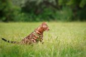 A single bengal cat in natural surroundings — Stock Photo