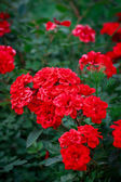 A bunch of red garden roses — Stock Photo