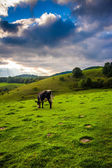 Cow in a field at Moses Cone Park on the Blue Ridge Parkway in N — Stock Photo