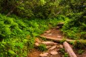 Ferns and bushes along the Craggy Pinnacle Trail, along the Blue — Stock Photo