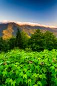 Flowers and view of the Blue RIdge at sunrise, seen from Mt. Mit — Stock Photo