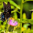 Butterfly on a thistle flower and bee, Shenandoah National Park, — Stock Photo #52579091