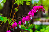 Bleeding hearts flowers surrounded by green leaves — Stock Photo