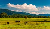 Cattle in a pasture and view of the Blue Ridge Mountains in the — Stock Photo