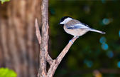 Chickadee perched on a small branch.  — Stockfoto