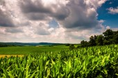 Cornfield and rolling hills of rural Southern York County, Penns — Stock Photo