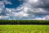 Cornfield in rural Carroll County, Maryland.  — Stock Photo