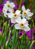 Daffodils. — Stock Photo