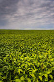 Dark clouds over field of soybeans in rural York County, Pennsyl — Stock Photo