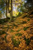 Fallen leaves on a steep hillside on a trail in Gunpowder Falls  — Stock Photo