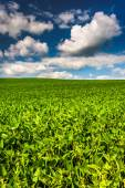 Fields of soybean, in rural Baltimore County, Maryland.  — Stock Photo