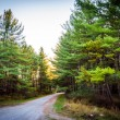 Pine trees along a dirt road in Michaux State Forest, Pennsylvan — Stock Photo #52598345