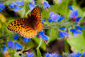 Great Spangled Fritillary butterfly on Spruce Knob in Monongahel — Stock Photo