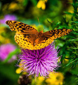 Great Spangled Fritillary butterfly on a purple thistle flower i — Stock Photo
