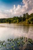 Nenúfares no lago williams, perto do condado de york, pensilvânia. — Fotografia Stock