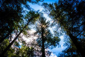 Pine trees at Loch Raven Reservoir in Baltimore, Maryland.  — Stock Photo