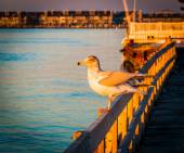 Seagull on a fence at Ocean City, Maryland.  — Stock Photo