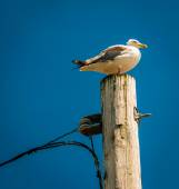Seagull on top of a utility pole in Point Pleasant Beach, New Je — Stock Photo