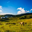 View of cows on a farm in the rolling hills of rural York County — Stock Photo #52614477