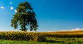 Boom in een boerderij veld in rural york county, pennsylvania. — Stockfoto